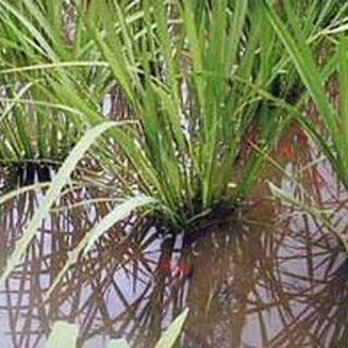 寿し飯に使用しているのは中井さんの「いやさか米」です。