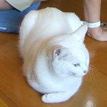 山はげ - こちらの猫はシャム?目は青くて体は真っ白。綺麗な猫です。