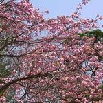 はす庵 - 満開の八重桜☆♪