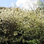 はす庵 - 白い八重桜?も満開☆♪