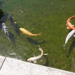 はす庵 - エサが欲しい鯉が寄ってくる☆♪