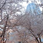 ケンゾーエステイトワイナリー - 桜のアーチの奥に六本木ヒルズ