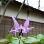 37141356 - 草庵(麟閣)の傍でひっそりと咲くかたくり