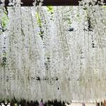 醍醐庵 - 美しく陽の光に白く輝く野田白藤。