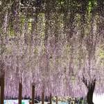 醍醐庵 - 風にそよぐ9尺藤。これが藤色なんですネ!