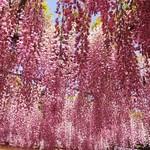 醍醐庵 - 珍しいピンクの可愛い花色の本紅藤。
