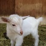 37715014 - 赤ちゃん山羊。今度はパンが食べられるといいね!!