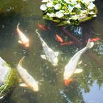 善乃園 - 立派な鯉!