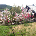 38101117 - 花桃がきれいでした