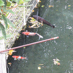 池内うどん店 - 川か池にいる鯉?たち・・・うどんを食べるようです。