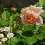 ログ - お庭にイングリッシュローズが咲く