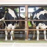飯田牧場 - 元気な牛たち