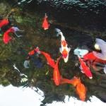 加里部亭 - お店の右手前にある小さな池には、鯉や金魚が泳いでいました。