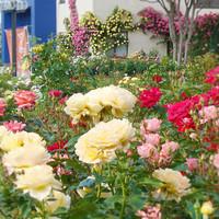 田沢湖ローズパークホテル - 2015年薔薇が咲き誇ってまいりました!