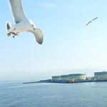 39563607 - 船と併走するウミネコ