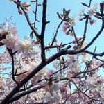 シロクマ食堂 - 手宮公園の桜