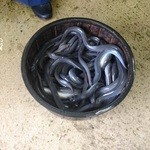 保立川魚店 - 本年度の鰻のウネウネ写真(笑)