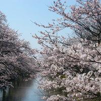 桜亭台町茶寮 - 福島江の桜並木