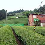 美土里屋 - 「美土里屋」から2キロ位の「放香堂」の茶畑