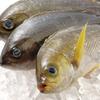 二代目 ぐるめ亭 - 料理写真:新鮮鮮魚が毎日入荷。いさき。