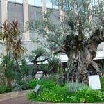 40203892 - そらガーデンの樹齢500年のオリーブ