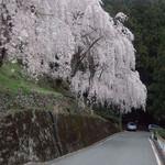 40208740 - 少し下ったところにも素晴らしいしだれ桜があります。