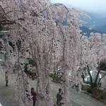 40208741 - お店の隣の白い神様のしだれ桜