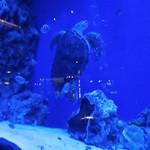 ラグシス - 息継ぎに水面に上がるウミガメ