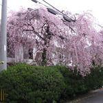 40312790 - 銀月アパートの桜(2013.03)