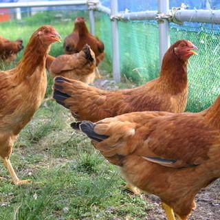 飼育から徹底的にこだわった比内地鶏