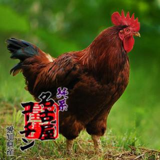 高級地鶏「名古屋コーチン」使用店!