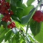 さくらんぼ山観光農園 - ハウスでは無い方のさくらんぼの木。