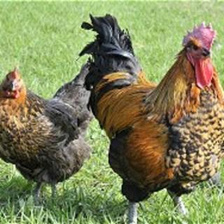 【庄内彩鶏(山形県)】鶏好きも唸る美味しさ