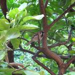 カフェ ラ・ボエム - カボスの木にスズメが来ました