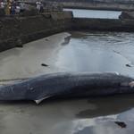 さかな - ツチくじら調査捕鯨  店のすぐ近くの和田漁港で解体見学しました。