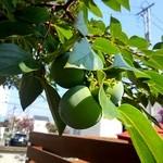 カキノキテラス - お庭には柿の木。