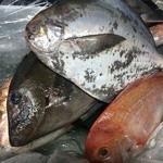 小樽、博多玄海灘、大分豊後水道、鹿児島、静岡港直送鮮魚御刺身各種日替わり