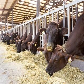 きめ細やかなケアをして育てる健康的な牧場牛