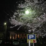 美福苑 - お店の駐車場には大きな桜の木が