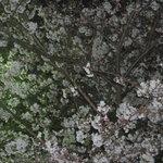 美福苑 - お店の窓からは満開の桜が眺められます