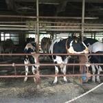 41895092 - 牛を眺めつつ。