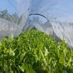 酒菜・からく - 自家栽培の朝採れ春菊が食べ頃です!