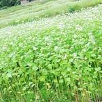 42652727 - 蕎麦の花☆