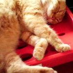 猫の手 - 店内のねこちゃん