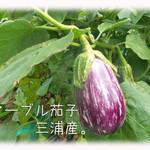 天現寺ガーデン - マーブル茄子 三浦野菜