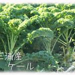 天現寺ガーデン - ケール(緑) 三浦野菜