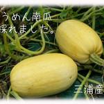 天現寺ガーデン - そうめん南瓜 三浦野菜