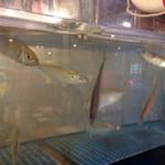 磯丸水産 - この後、活きが良すぎるのか水槽から魚が飛び出して来ました。ビックリしました。