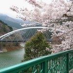 450498 - 奥多摩湖畔の桜は満開だった。