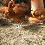 観音坂 鳥幸 - 山梨県甲斐路軍鶏